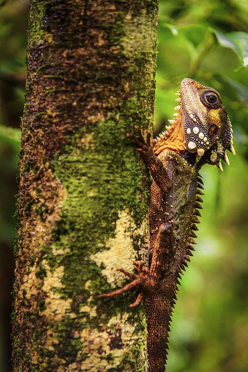 Boyd's Forest Dragon in  Daintree rainforest, Queensland