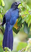 A Greater Ani (Crotophaga major). Yasuni National Park, Amazon, Ecuador.