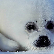 Harp Seal, (Pagophilus groenlandicus) Portrait of pup. Eyes tear due to lack of tear ducts. Spring. Nova Scotia. Canada.
