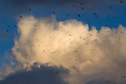 Several hundred American crows (Corvus brachyrhynchos) try to fly against 50-mile-per-hour winds to their roost during a strong storm in Bothell, Washington.