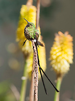 Male black-tailed trainbearer hummingbird, Lesbia victoriae, perched on a stem near Quito, Ecuador