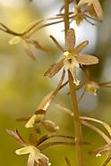 Calypsoeae