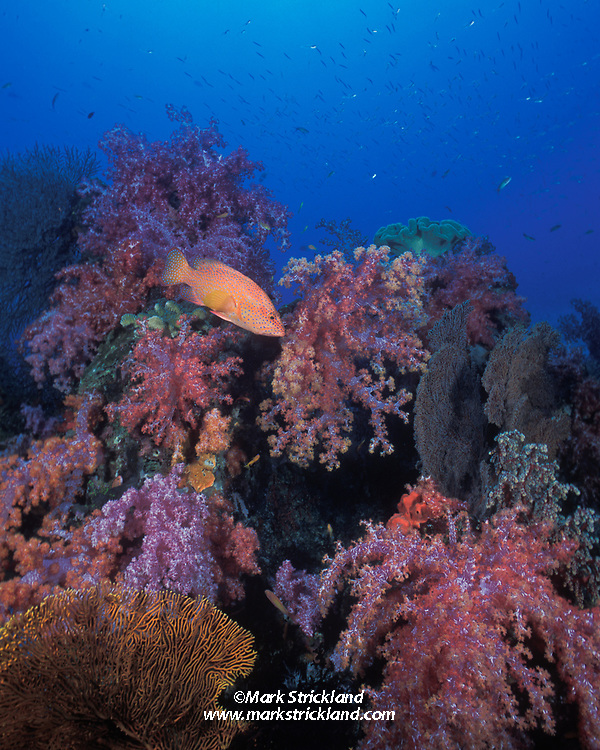 A Blue-Spotted Coral Grouper, Cephalopholis miniata, patrols among colorful soft corals and gorgonians.  Similan Islands Marine National Park, Thailand, Andaman Sea, Indian Ocean