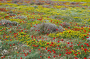 Wild Flower Field, Meadow, with yellow flowers and red poppies