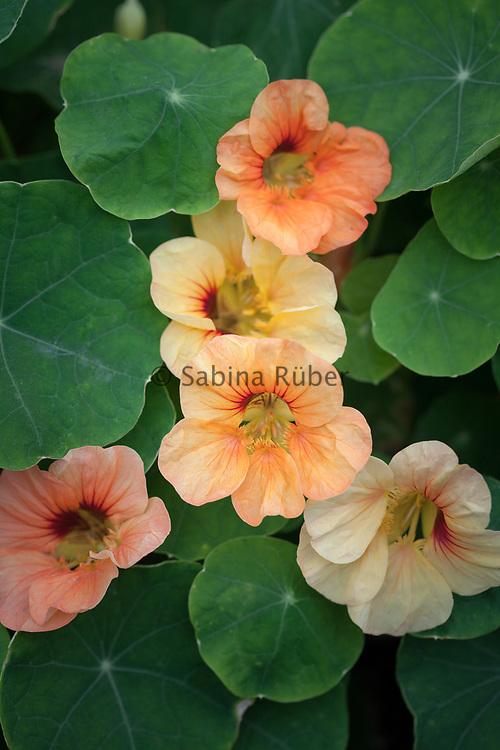 Tropaeolum minus 'Just Peachy' - dwarf nasturtium