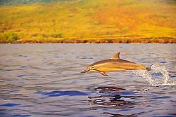 Long-snouted Spinner Dolphin calf, porpoising at sunset, Stenella longirostris, Kealakekua Bay, Big Island, Hawaii, Pacific Ocean.