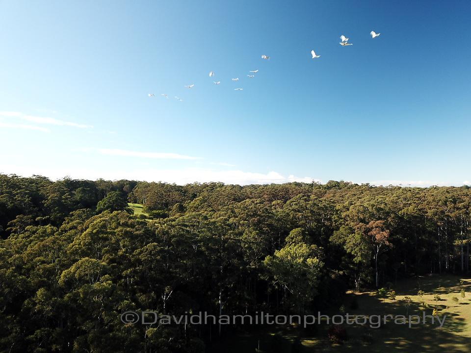 White Parakeets flying over gum trees in the morning above Mt Tamborine, Queensland Australia.