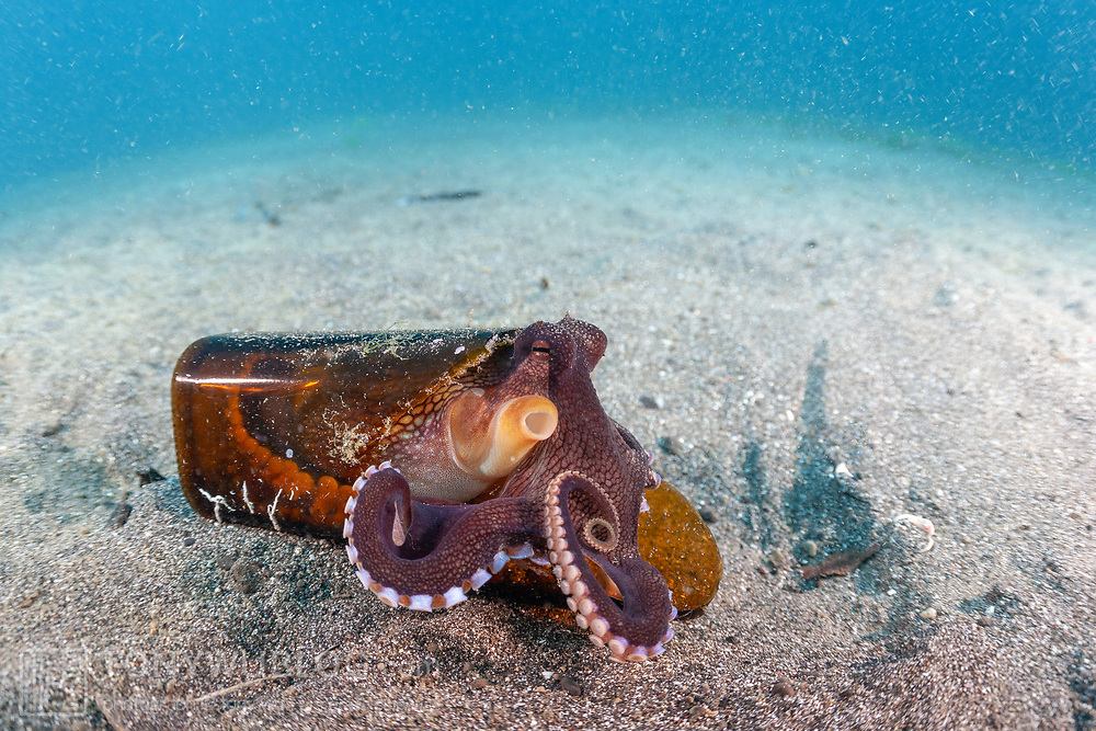 This sequence depicts a veined octopus (Amphioctopus marginatus) using a broken bottle as a portable shelter. The octopus was carrying a small crab that it had caught for a meal. Image 3 in a series of 15.<br />.