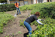 Milpitas High School Principal Cheryl Lawton, foreground, helps volunteers remove weeds from planter boxes during the Earth Day clean up activities at Milpitas High School in Milpitas, California, on April 23, 2016. (Stan Olszewski/SOSKIphoto)