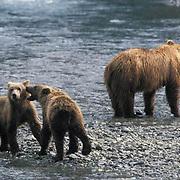 Alaskan Brown Bear, (Ursus middendorffi)  Cubs playing while mother fishes for food.Coastal Alaska.