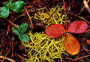 Colorful Leaves & Lichen - Yellowstone N.P., Wyoming.