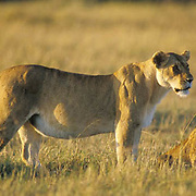 African Lion, (Panthera leo) Portrait of lioness and cub. Serengeti Plains.Masai Mara Game Reserve. Kenya. Africa.