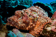 Scorpaenopsis possi (Poss's scorpionfish)