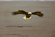 Bald eagle in flight over beach, with wings and tail set to reduce speed for landing, Alaska, © David A. Ponton