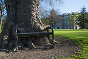 The Hungry Tree, Constitution Hill, on 2nd April 2017 in Dublin, Republic of Ireland. Over a number of years a large, heritage protected, London Plane Tree has been consuming this park bench in the grounds of the Kings Inn, the training ground of centuries of Irish lawyers and barristers.
