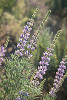 One of my favorite sagebrush-steppe native wildflowers, this silky lupine is growing straight and tall in the late afternoon, late springtime sunlight in Washington's Cowiche Canyon.