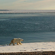 Polar Bear (Ursus maritimus) A bear wanders the frozen edge if Hudosn Bay at Cape Churchill waiting for the ice to freeze. Churchill, Manitoba. November. Canada. Winter.