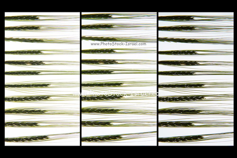 Back lit wheat stalks. photographed on a light box