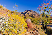 Morning light on barrel cactus and ocotillo under Indianhead Peak, Anza-Borrego Desert State Park, California USA