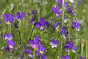 Wild pansy, Viola tricolor, in field edge, Inverness-shire, Highland,.