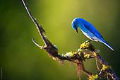 Bluebirds' Battles