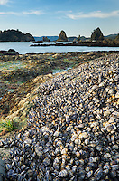 Colonies of mussels on rocks at low tide, Point of the Arches, Olympic National Park Washington