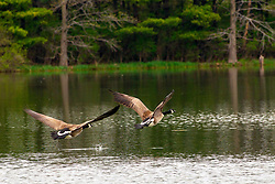 A pair of Canadian Geese (Branta canadensis) take flight across a small lake in Central Illinois