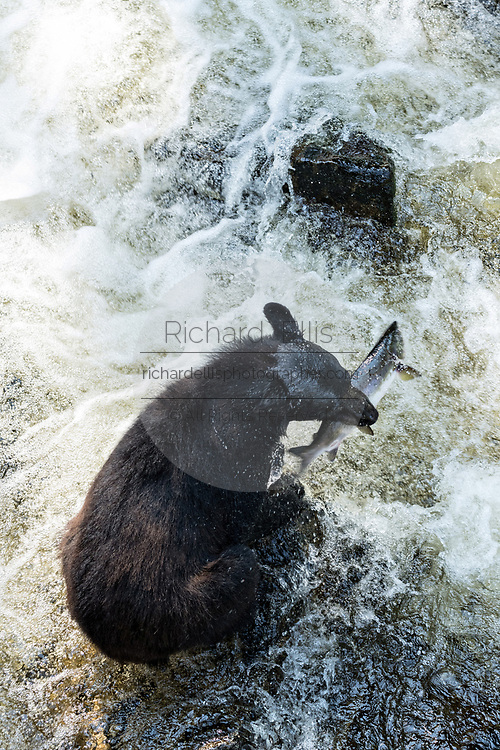 An adult American black bear sits on the edge of the falls as it grabs a passing salmon at Anan Creek in the Tongass National Forest, Alaska. Anan Creek is one of the most prolific salmon runs in Alaska and dozens of black and brown bears gather yearly to feast on the spawning salmon.
