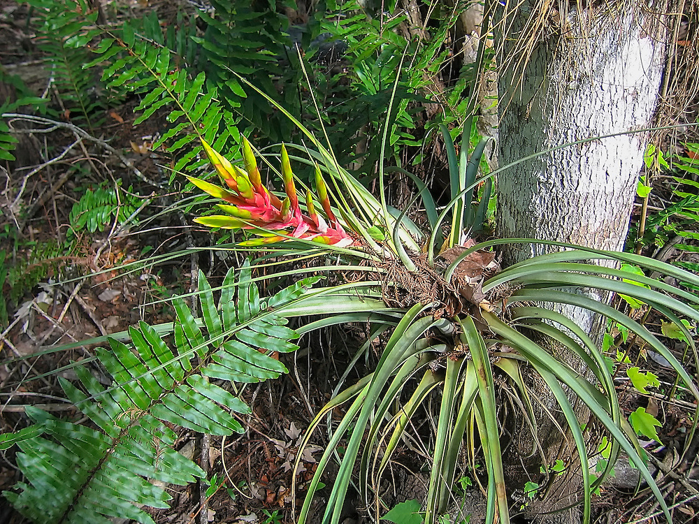 This massive yet common airplant in the wilder parts of the Florida Everglades blooms in the winter among the cypress groves and hammocks of the swamps.