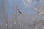 This Northern Shrike was perched on a branch at a local park in Big Flats, NY.