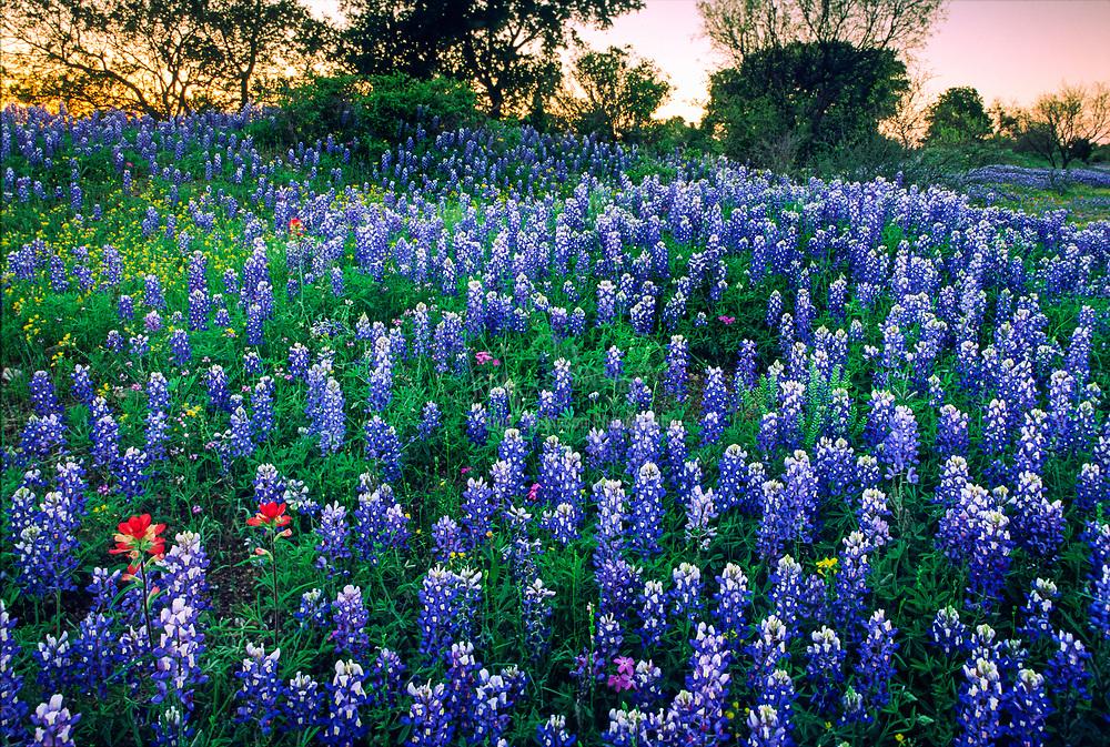 Wildflowers near Kingsland,Texas