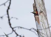 Golden-olive woodpecker, Piculus rubiginosus, looks out of its nest in Jerusalem Park, Ecuador
