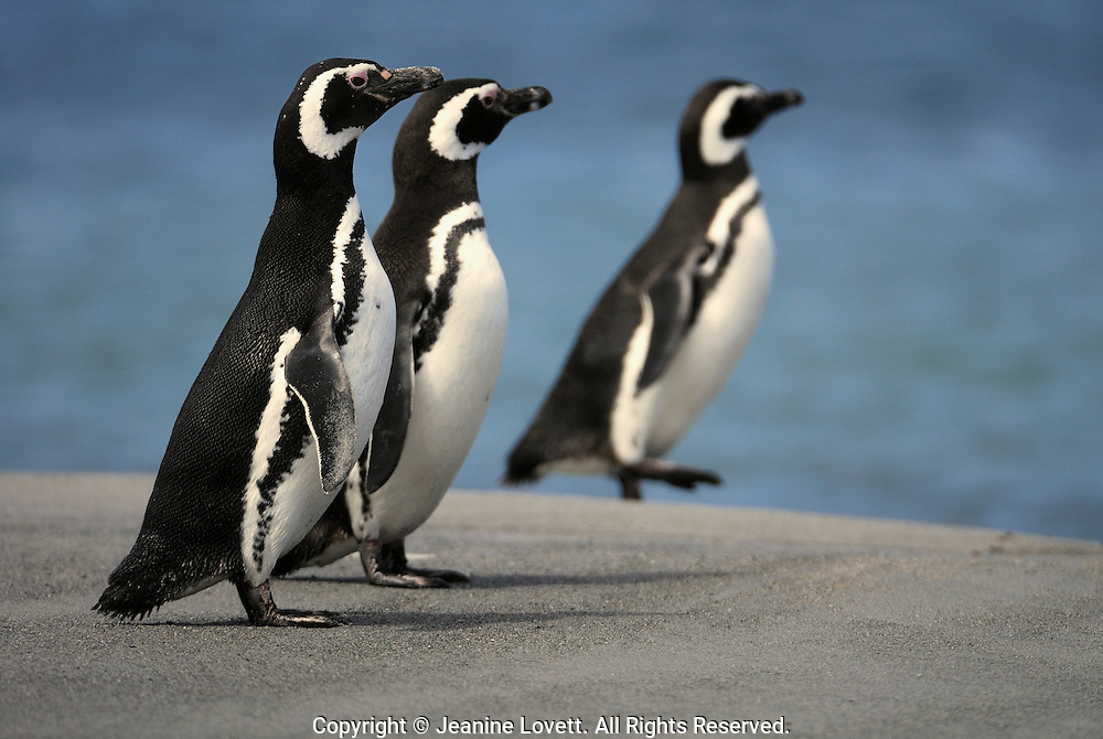 Three magellanic penguins walk along the beach and sea shore.