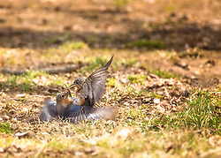 Bluebirds in the yard playing or maybe fighting on the ground