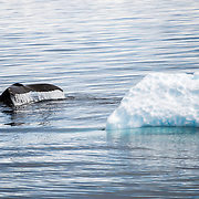 A humpback whale divesnext to a small iceberg in Fournier Bay on the western coast of the Antarctic Peninsula.