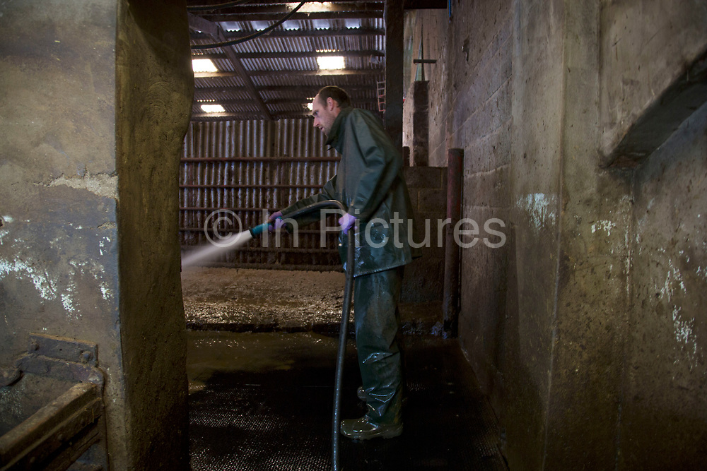 Graham Hill at milking time in the milk parlour. With a new parlour planned this is a traditional one which has served many years.. The cows are brought in to individual stalls, their teats are disinfected, and wiped before the milking apparatus is attached. After each cow the apparatus is cleaned and rinsed; as are the stalls. All of this ensures the ultimate cleanliness in the end product, which is tested daily to ensure top quality. Wildon Grange Dairy Farm, Coxwold, North Yorkshire, UK. Owned and run by the Banks family, dairy farming here is a scientific business, where nothing is left to chance. From the breeding, nutrition and health of their closed stock of Holstein Friesian cows, through to the end product, the team here work tirelessly, around to clock to ensure content and healthy animals, and excellent quality milk.