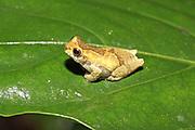 Crump's Tree Frog, Dendropsophus brevifrons, at night near Sacha Lodge