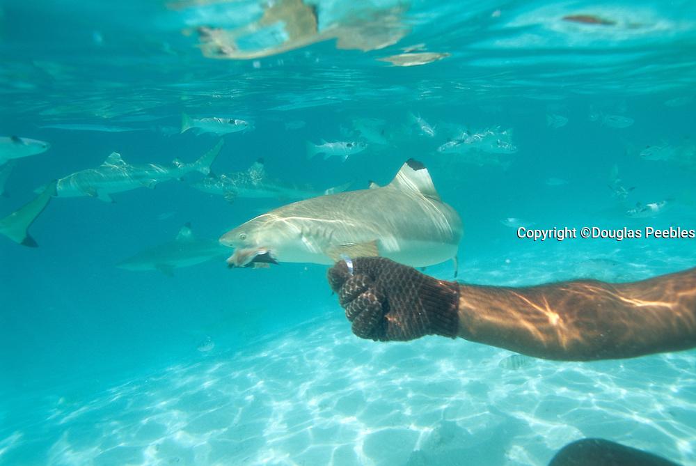 Feeding shark, Bora Bora, French Polynesia