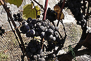 Wine Grapes ~ Pinot Noir