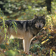 Gray Wolf in a hardwood forest during the fall in northern MInnesota. Captive Animal