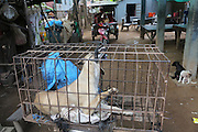 South East Asia, Cambodia, Phnom Penh. A dog is killed by strangulation within its cage<br /><br />Whilst some people eat dog meat, it is not commonplace. But it is a poorman's meat as it is a cheaper than beef, pork or chicken. The practice of hunting and catching stray dogs is common place, and sometimes even poaching domestic dogs. The Khmer prefer wild dog to 'farm' grown dogs. However the dogs are often treated inhumanely, and killed by strangulation or even boiled alive. It is thought by some that a dog filled with fear makes better meat. The animal is shaved and butchered. Favorite khmer dishes include dog paw curry and dog's head.<br /><br />Dog meat is eaten all over the world. An estimated 25 million dogs are eaten every year. For some societies eating dog is taboo, for others its acceptable.