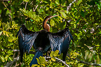 African Darter, along teh Nile River in Murchison Falls National Park, Uganda.