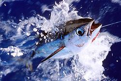 yellowfin tuna or `A-hi in Hawaiian, .Thunnus albacares, .Kona, Big Island, Hawaii (Pacific)