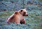 Grizzly Bear, Ursus arctos, sitting on tundra, Denali National Park, Alaska.