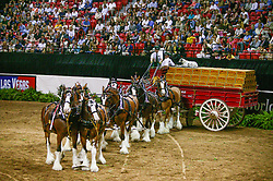 Budweiser heavy horses<br /> World Cup Final Jumping - Las Vegas 2003<br /> © Hippo Foto - Dirk Caremans