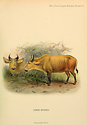 Congo Buffalo colour illustration From the book ' Wild oxen, sheep & goats of all lands, living and extinct ' by Richard Lydekker (1849-1915) Published in 1898 by Rowland Ward, London