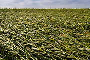 "12 AUGUST 2020 - POLK CITY, IOWA: A corn field with flattened corn after a derecho storm passed through central Iowa. According to Iowa Governor Kim Reynolds, the storm damaged 10 million acres of corn and soybeans in Iowa, about 1 one-third of Iowa's 32 million acres of agricultural land. Justin Glisan, Iowa's state meteorologist, said the storm Monday, Aug. 10, lasted 14 hours and traveled 770 miles through the Midwest before losing strength in Ohio. The storm was a seldom seen ""derecho"" that packed straight line winds of nearly 100MPH. The storm pummelled Midwestern states from Nebraska to Ohio.     PHOTO BY JACK KURTZ"