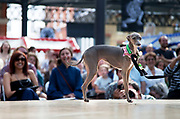 Italian Greyhound at the Paw Pageant dog show at Spitalfields Market, London. Local people enter their dogs into the Shoreditch Unbound Festival Dog Show to win prizes and to show off their pets. Prizes and categories included: Dead Ringer, Dressed Up to the K-Nines, Fugliest Dog (meaning funny / ugly), Shoreditch Show Off, Paw-fection, Best in Ditch, Best Bitch in the Ditch.