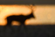 Blur silouhette of a Male Père David's deer, or Milu, Elaphurus davidianus, at sunrise in the morning by water of the Yangtze river in Hubei Tian'ezhou Milu National Nature Reserve, Shishou, Hubei, China