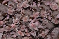 Juvenile Mehely horseshoe bats (Rhinolophus mehelyi), Junge Mehely Hufeisennasen, near Nikopol, Bulgaria